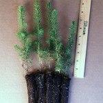 serbian spruce plug seedlings for sale