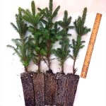 black hills spruce plug transplants for sale