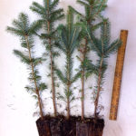Colorado Blue Spruce plug transplants for sale