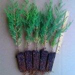 eastern red cedar plug transplants for sale