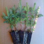 meyer spruce plug transplants for sale