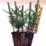 evergreen plug transplants for sale