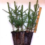 norway spruce plug transplants for sale