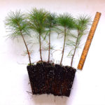 white pine plug transplants for sale