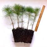 white pine plug transplants for sale