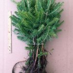 Colorado Blue Spruce evergreen transplants for sale