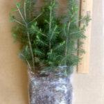white spruce plug transplants for sale