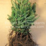 balsam fir transplants for sale