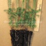 Black Hills Spruce plug seedlings