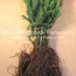 black hills spruce transplants