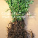canaan fir transplants for sale