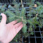 Balsam Fir plug transplants - conservation grade 03