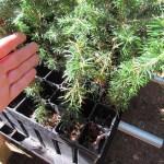 Fraser Fir plug transplants - conservation grade 08