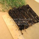 Colorado Blue Spruce plug seedlings
