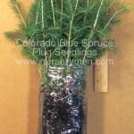 Colorado Blue Spruce plug seedlings for sale