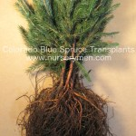bare root colorado blue spruce transplants for sale