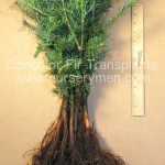 bare root concolor fir transplants for sale