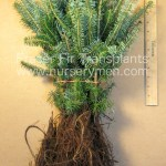 bare root fraser fir transplants for sale