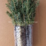 Meyer Spruce plug seedlings for sale