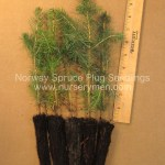 Norway Spruce Plug Seedlings for sale