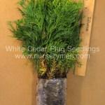 White Cedar plug seedlings for sale