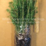 White Spruce plug seedlings