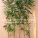 bald cypress plug transplants for sale