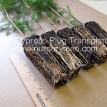 bald cypress plug transplants for sale