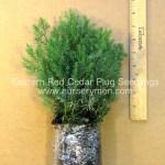 eastern red cedar plug seedlings for sale