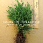 evergreen trees for sale - eastern red cedar seedlings