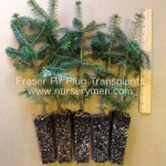 fraser fir plug transplants for sale