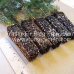 fraser fir plug transplants for sale