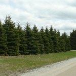 Colorado Blue Spruce as an evergreen windbreak