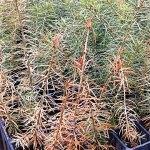 Winterburn of douglas fir seedlings