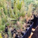 Winterburn of norway spruce seedlings