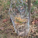 evergreen seedling deer protection cage pic 02