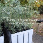 concolor fir plug transplants for sale