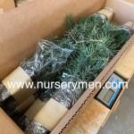 Concolor fir plug transplants