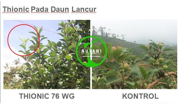 thionic76wg_daun-lancur