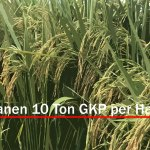 Kiat Sukses Panen Padi 10 Ton Per Hektar