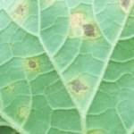 Penyakit Penting Pada Tanaman Melon, Semangka, Pare, Mentimun, Gambas