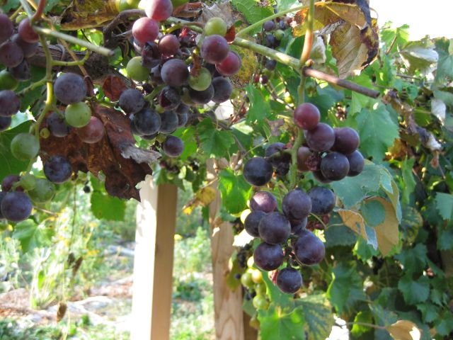 scuppernong grapes smith week 3 This is the second week this winter that much of the southeast is having winter  page 1 of 3 1 2 3  exclusive offers from ison's nursery & vineyard call us.