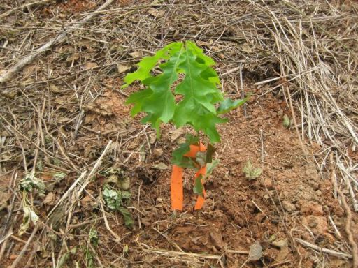 acorn seedling