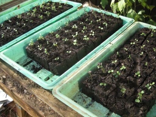 lettuce in soil blocks