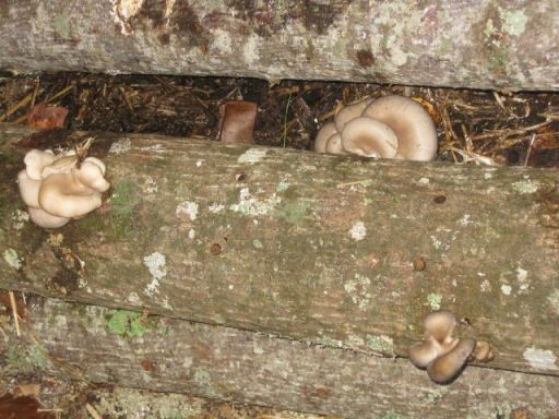 some oyster mushrooms