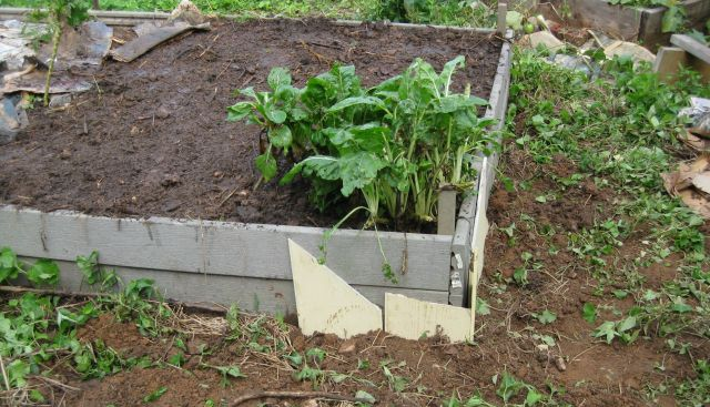 newly seeded radish and beet bed with added compost and cement siding below ground to stop roots