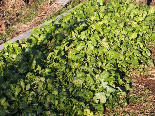 lots of winter greens which keep growing in the winter