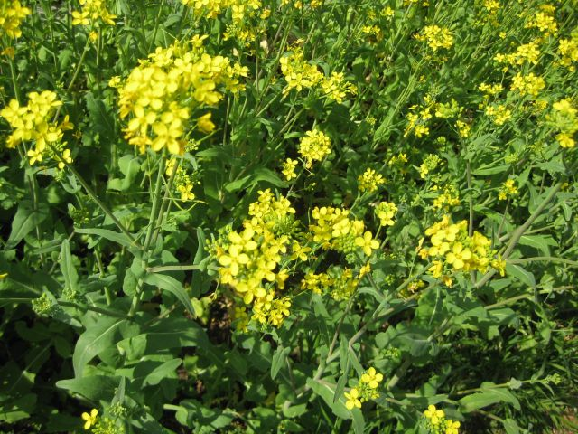 a mass of yellow flowers beckoning pollinators