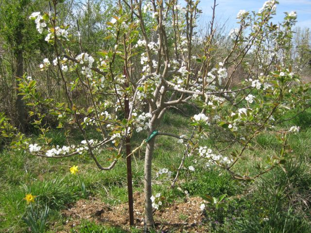 white blossomed pear tree