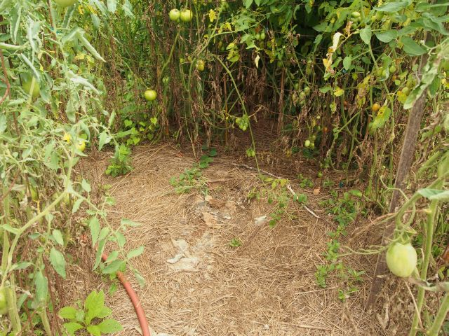 a truncated view of the keyhole planting - tomato plants in a circle with access from the south east and south west
